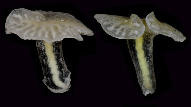 Dendrogramma Source: Kristensen, Olesen/PLOS ONE