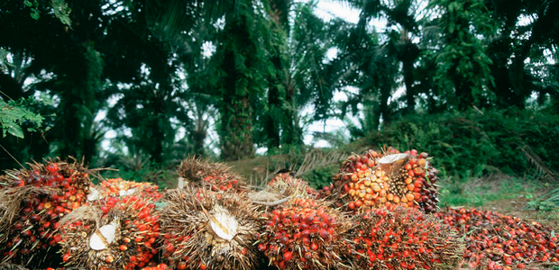 Indonesian palm oil crop Source: EUObserver/Friends of the Earth