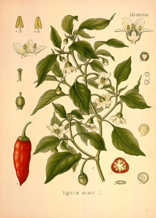 Cayenne pepper (Capsicum annuum) Source: Plantcurator