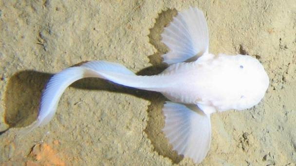 A new species of deep-sea snailfish with a glowing cranium and transparent body has been discovered over 500 meters deep. This discovery smashes the record for deepest fish known to exist in the world.  Photo : PA/Oceanlab, University of Aberdeen