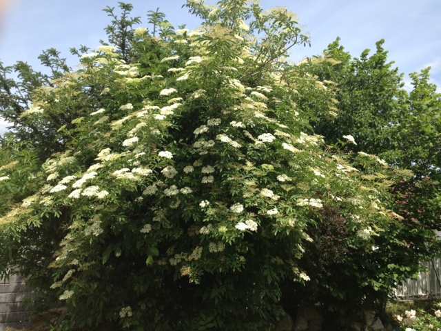 The stray elderflower tree.