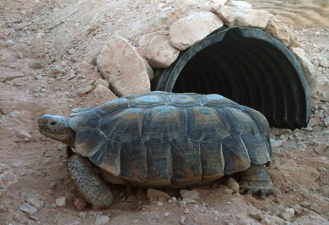 Monster, a pet desert tortoise rescued from abandonment. Source: San Diego Zoo Desert Tortoise Conservation Center