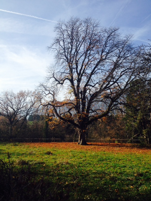 My favorite old oak tree, this week.