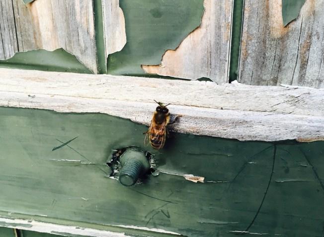Bee on a window shutter Photos: PKR
