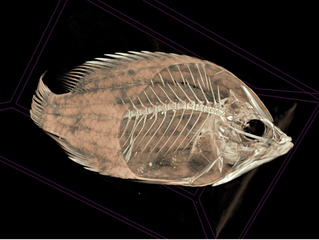 3D scan of Sligjaw Wrasse (Epibulus insidiator). Source: Adam P. Summers & Joshua Drew/OSF
