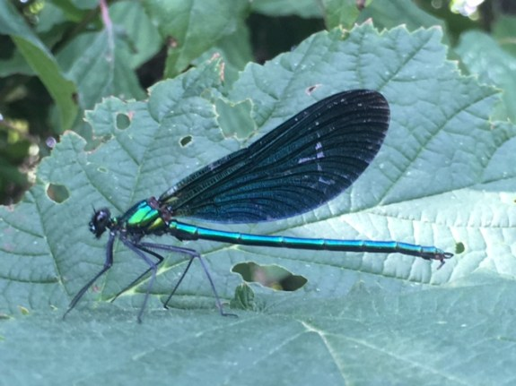 Beautiful demoiselle (Calopteryx virgo). Photo: PKR