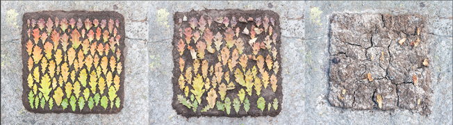 Oak Leaf Colour Square over three weeks. Artist: Richard Shilling