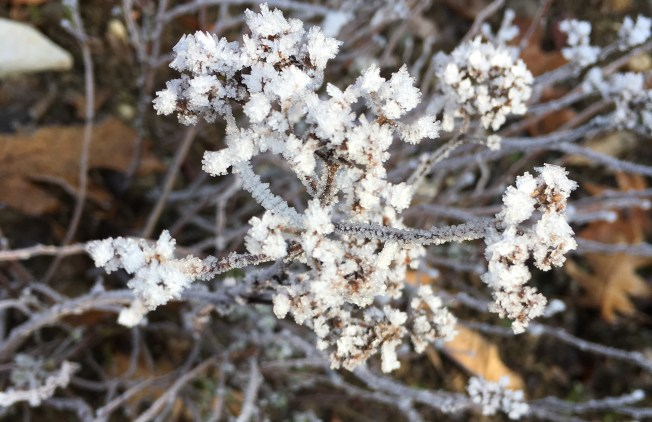 Hoarfrost covers a plant as the sun comes out. Photo: PKR