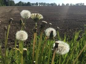 Dandelion heads, farming, agriculture,plowed field