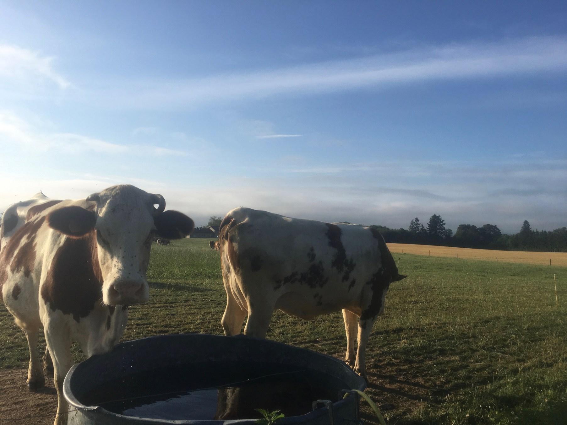 cows, dairy, field, summer