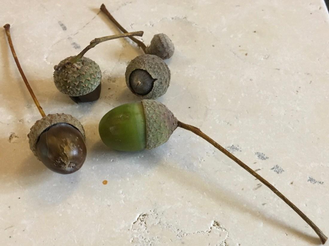 #summer #acorns #oak