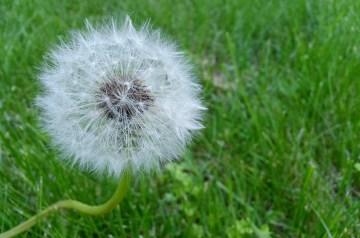 Wilted Dandelion Greens