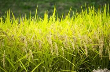 Fall Harvest Rice Krispies Treats