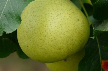 Pear Extraordinaire