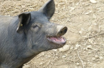 Oink Oink on a Stick