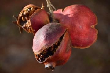 Pomegranate Martinis
