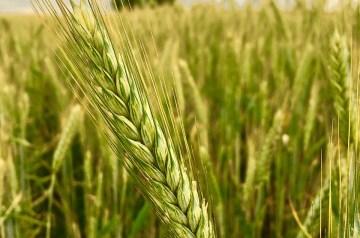 Barley Pilaff