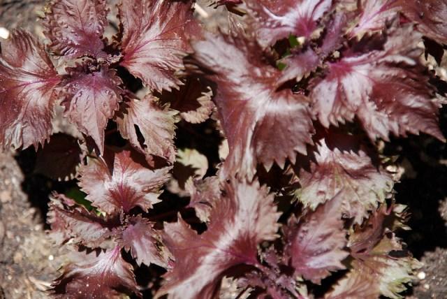 shiso herbe aromatique