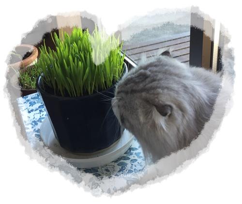 ねこ草と綿丸