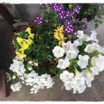 春のおしゃれな寄せ植え!花苗選び・育て方・写真付きで解説!