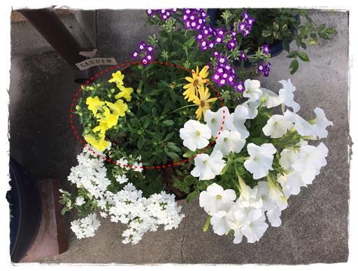 5月下旬 キンギョソウが咲きました。ああよかった。