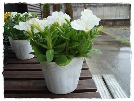 ペチュニア 白 1年草 暑さに強く、秋まで咲く