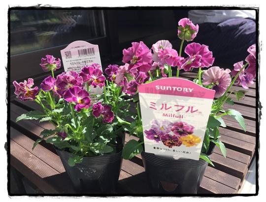 「ミルフル」ピンクフリル 薄紫