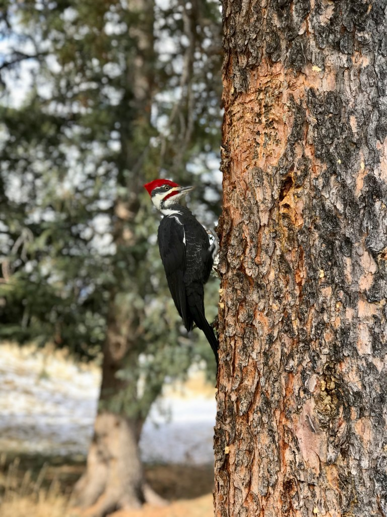 A rare woodpecker sighting while attending Christmas in November at Fairmont Jasper Park Lodge