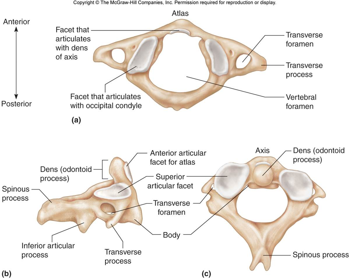 cervical vertebrae diagram murray lawn tractor wiring bone pictures labeled drawn chandler physical therapy
