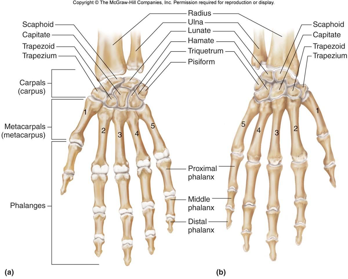 Hand Amp Wrist