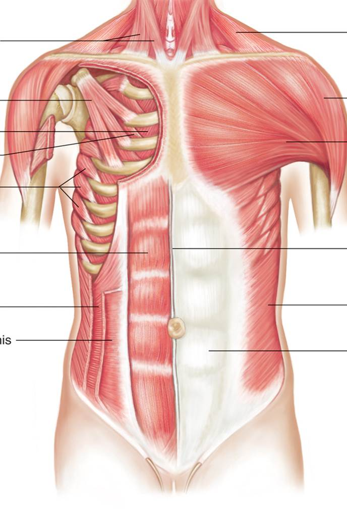 Diagram Of Bone With Labels Chest Muscles Chandler Physical Therapy