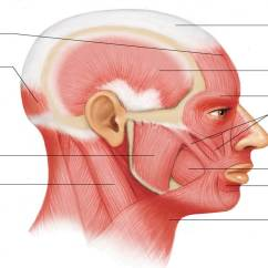 Face Muscles Diagram Pt100 Wiring Muscle Pictures I - No Labels | Chandler Physical Therapy