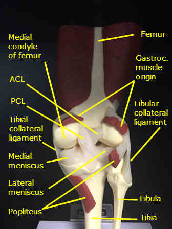 Femur  Chandler Physical Therapy