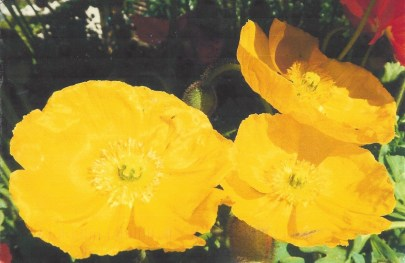 """Yellow Flowers."" Photograph by Ellen Wery of California"