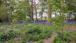 Bluebell Wood at Beningbrough Hall