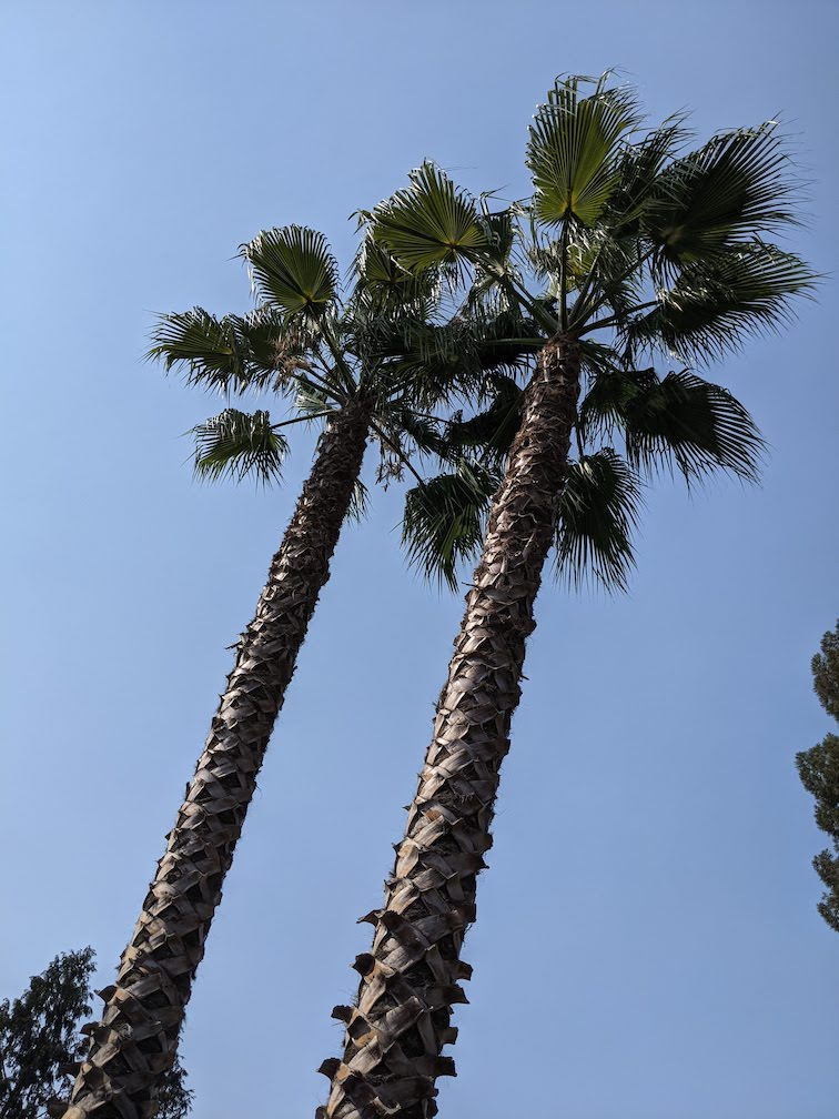 blue sky with tops of 2 palm tress