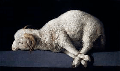 A sheep with its four legs tied