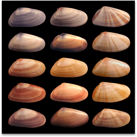 15 slightly different sea shell patterns, different colors, different line patterns