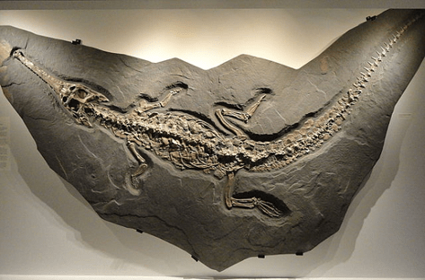 A fully detailed fossil of a small crocodile-like dinosaur in a dark rock.