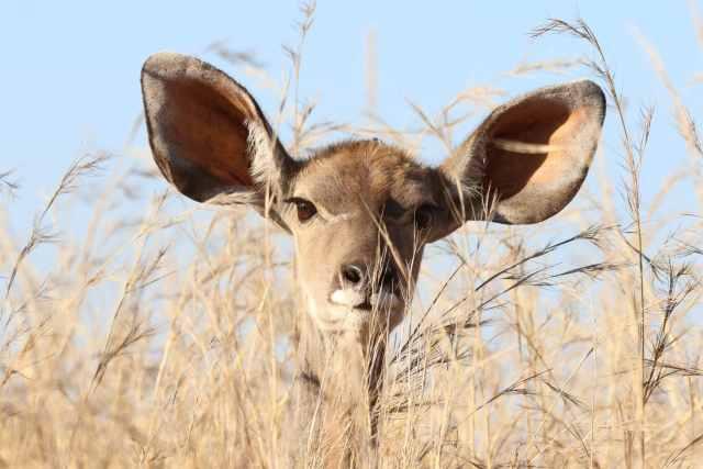 Deer Listening