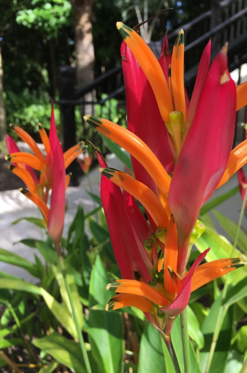 Colorful plants, birds of paradise, outside in Old San Juan, Puerto Rico | Letters from abroad: Puerto Rico and Old San Juan | Changing Pages #Travel #Photography | BL | Black Lion Journal | Black Lion