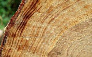 Tree_rings,_Hillsborough_forest_-_geograph.org.uk_-_1506824