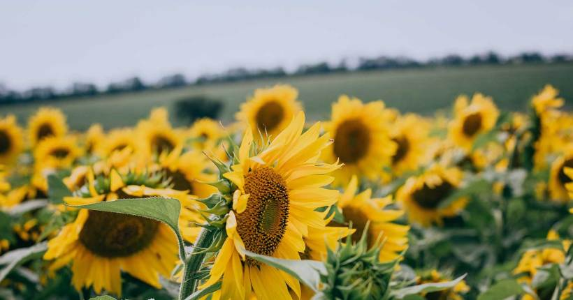 Field of sunflowers blowing in the wind