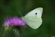 _48009530_largewhitebutterfly
