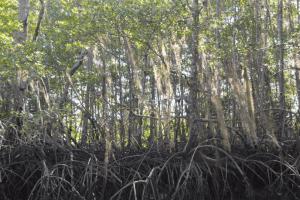 Mangrove Tours Osa Peninsula