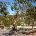 Gum tree, MacDonnell Ranges.