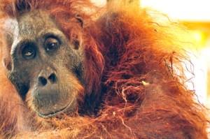 Orangutan shot Kondisi-OU-sebelum-operasi2