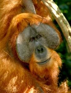 Sumatran_orangutan_Credit_Helen_Buckland[1]