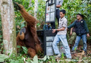 3. Friday is released, some 50 kilometers from where he was rescued in the Leuser Ecosystem, Sumatra, Indonesia
