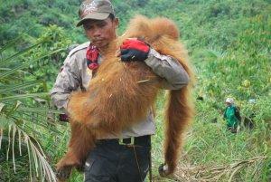 Rimba Sawang rescue 466436_10150638039552511_2140855643_o